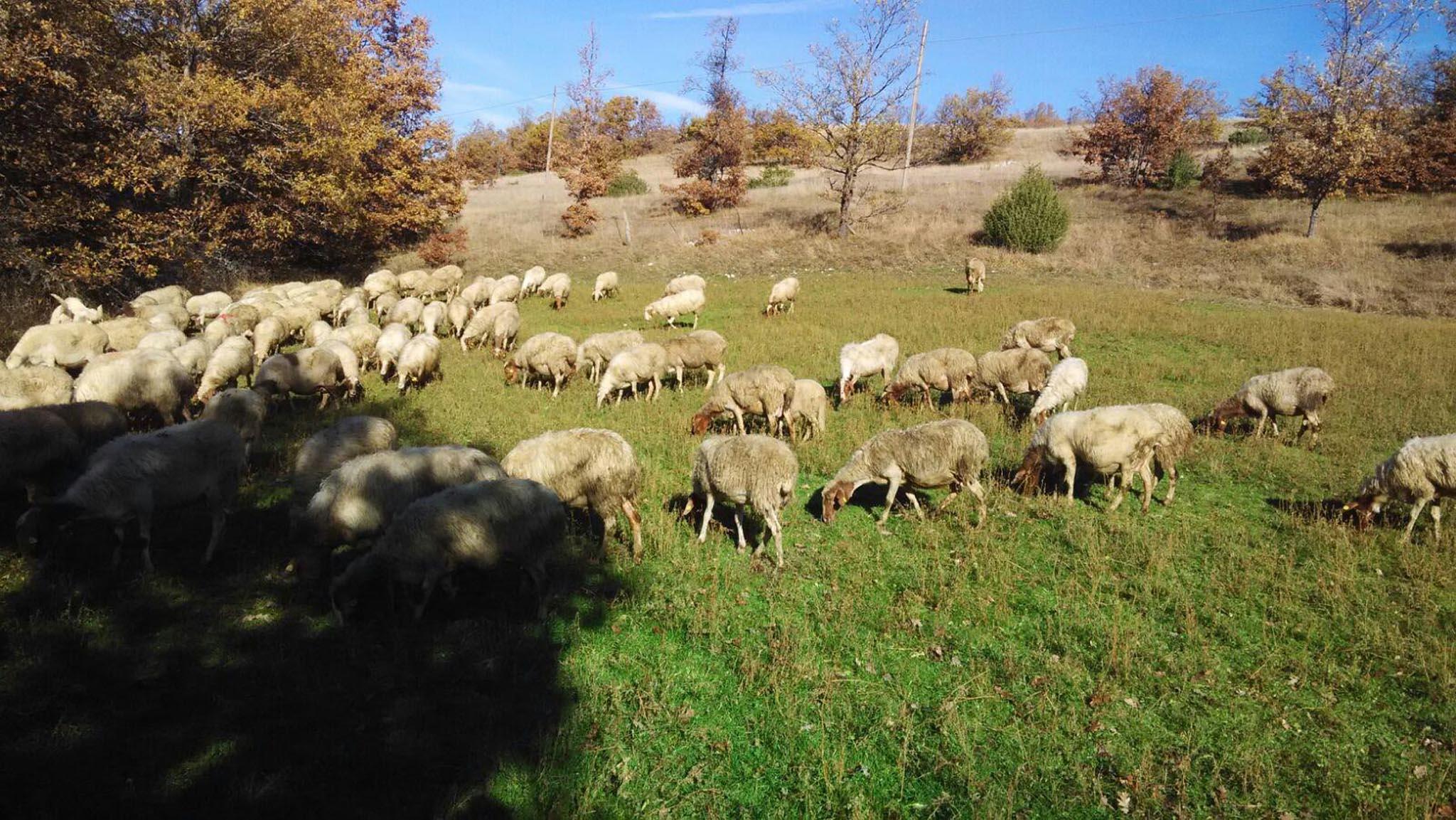 Pecore fattoria di opagna pomeriggio