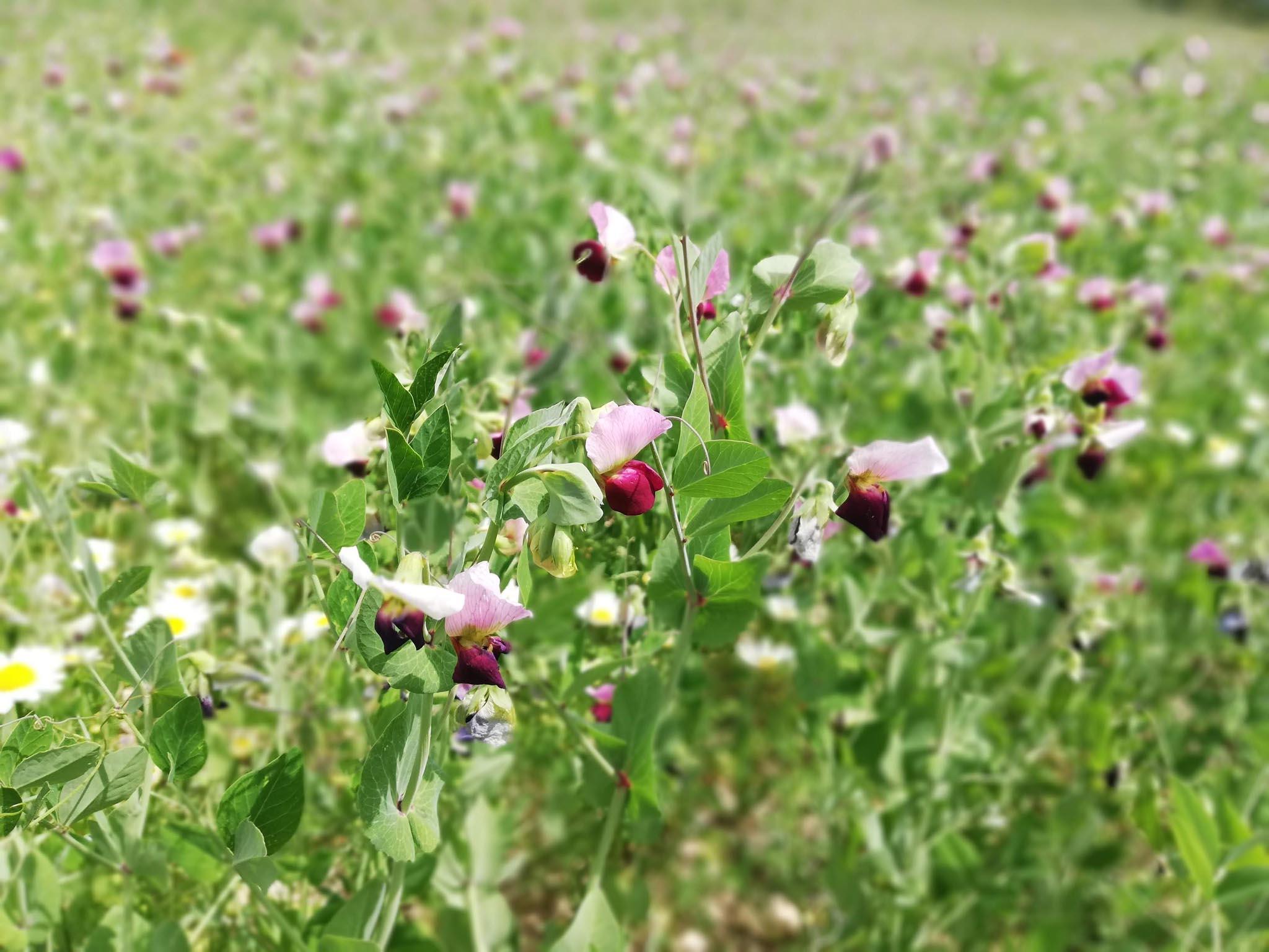 fiori viola su sfondo verde legumi e cereali