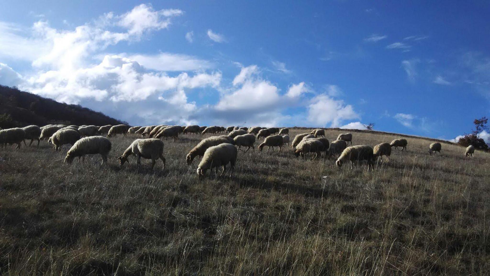 pecore fattoria di opagna cielo azzurro
